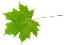 Natural green maple leaf isolated on white Stock Image