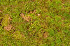 Natural green moss background Stock Photo