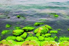 Natural green moss at beach rock with blue sea at Ly Son island, vietnam. Royalty Free Stock Images
