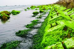 Natural green moss at beach rock with blue sea at Ly Son island, vietnam Royalty Free Stock Photography
