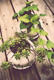 Natural green plants on an old vintage wooden board Royalty Free Stock Photography
