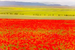 Natural green and red color contrast concept. Blurred flower foreground. Poppies selective focus royalty free stock photos