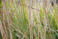 Natural green reeds texture background Royalty Free Stock Image