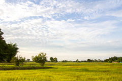 natural green rice plant background with sunlight and selective Royalty Free Stock Images
