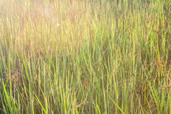 natural green rice plant background with sunlight and selective Stock Photo