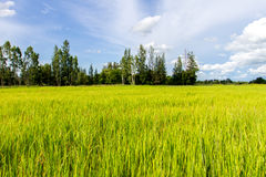 natural green rice plant background with sunlight and selective Royalty Free Stock Photos