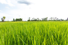 natural green rice plant background with sunlight and selective Royalty Free Stock Image
