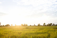 natural green rice plant background with sunlight and selective Stock Image