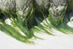 Natural green sea algae Royalty Free Stock Image