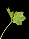 Wild green hellebore - Christmas aka Lenten Rose, isolated over Royalty Free Stock Photography