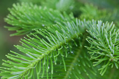 Natural green spruce branch. Fir tree soft and blurry background. Daylight. macro view Stock Images