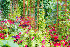 Natural green wall with climbing plants. Garden with a natural green wall with climbing plants and rusty climbing aids Stock Photography
