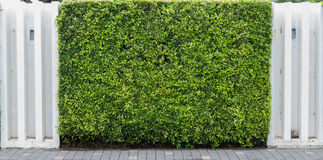 Natural green wall with  pavement Royalty Free Stock Photos