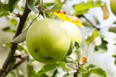 Natural greenery apple tree branch in an orchard. Organic fruits concept. soft focus. shallow depth of field Royalty Free Stock Image