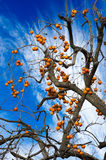 Natural greeting abundant harvest persimmon Royalty Free Stock Photos