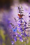 Natural greeting card with two small bright orange and blue butterflies pigeon sitting on purple flowers on a Sunny summer day in royalty free stock image