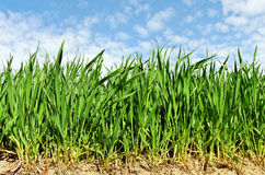 Natural growing wheat. Royalty Free Stock Photo