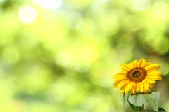 Sunflower in front of blurry background. Natural grown sunflower in front of blurry background with beautiful bokeh Royalty Free Stock Photography