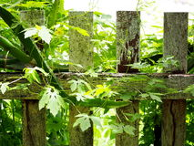 Natural growth tropical herbal medicine creeping plant Stock Images