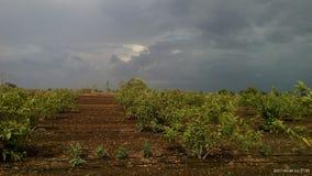 Natural guavas plants Royalty Free Stock Images