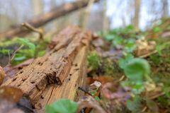 Natural habitat for insects in the forest in the morning. Rotten wood as protection to preserve biodiversity. Natural habitat for insects in the forest. Rotten stock images