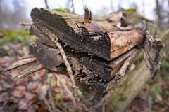 Natural habitat for insects in the forest in the morning. Rotten wood as protection to preserve biodiversity. Natural habitat for insects in the forest. Rotten royalty free stock photography
