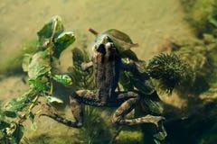 Natural habitat marsh frog green brown camouflage amphibian Pelophylax ridibundus. Up view, selective focus, river Royalty Free Stock Images