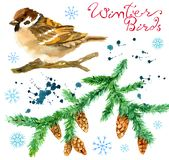 Design set with winter bird sparrow, paint drops and conifer branch isolated on white. Natural hand painted watercolor illustration with cute winter birds and royalty free illustration