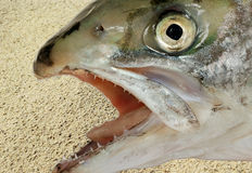 Natural head of salmon. Stock Image