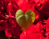 Natural heart. A natural heart of a climbing plant in the summer, against a red flower background Stock Photos