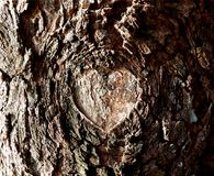 Natural Heart Shaped Knot in Bark of Tree stock image