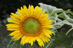 Natural Heirloom Sunflower in Indiana stock photography