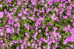 Natural herbal background small pink flowers Stock Image