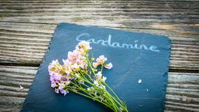 Natural Herbal Cardamine or Cuckoo flower on rustic wood table w. Ith copy space Royalty Free Stock Photography