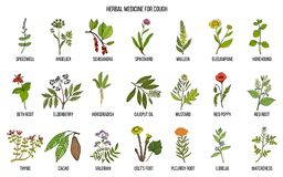 Natural herbs for cough remedies. Hand drawn botanical vector illustration Stock Photo