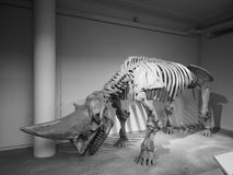 Natural History Museum in London black and white. LONDON, UK - CIRCA JUNE 2017: Dinosaur at the Natural History Museum on Exhibition Road in South Kensington in stock images