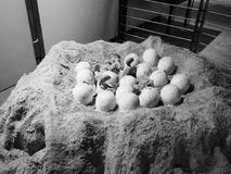 Natural History Museum in London black and white. LONDON, UK - CIRCA JUNE 2017: Dinosaur eggs at the Natural History Museum on Exhibition Road in South royalty free stock image
