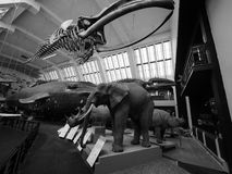 Natural History Museum in London black and white. LONDON, UK - CIRCA JUNE 2017: Elephant, Rhino, whale at the Natural History Museum on Exhibition Road in South stock image