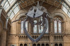 The blue whale skeleton in the main hall of The Natural History. The Natural History Museum, London-September 6,2017: The blue whale skeleton located in the main stock images