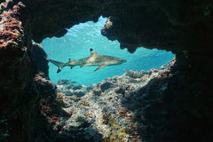 Natural hole underwater with a blacktip reef shark. Natural hole underwater into the fore reef with a blacktip reef shark, Carcharhinus melanopterus, Huahine royalty free stock image