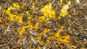 Natural Honey, Bee produce wax and create honey. Bees produce wax and build honeycombs from it stock video footage