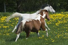 Natural horse race. An pinto pleasure horse and a painthorse seem to give themself a race through a dandelion meadow Stock Image