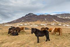 Icelandic horses standing, grazing ,meadow, volcanic mountain stock photo