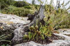 Natural ikibana from wild succulents and green vegetation. On an old stump on a large stone with lichen royalty free stock images