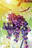 Natural Imperfect Grapes in Vineyard. Natural Imperfect Bio Grapes in Vineyard royalty free stock photography