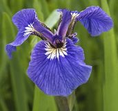 Violet Iris Flower Royalty Free Stock Image