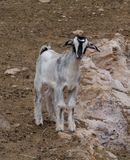 Natural joven de la cabra de Majorera a Fuerteventura Imagen de archivo libre de regalías