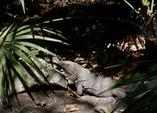 Natural Joven Iguana en México. A green iguana in mexico, one reptil fantastic and beautiful. Tropical and increible Stock Photography