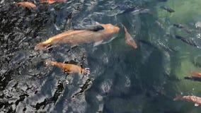 Natural koi fish feeding movement. Natural koi fish movement on natural pond or lake stock video