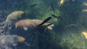 Natural koi fish movement. On natural pond or lake stock video